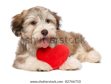 A lover chocolate valentine havanese puppy dog with a red heart isolated on white background
