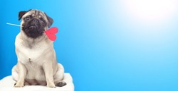 A lover pug dog holding a red heart in mouth on blue background. banner