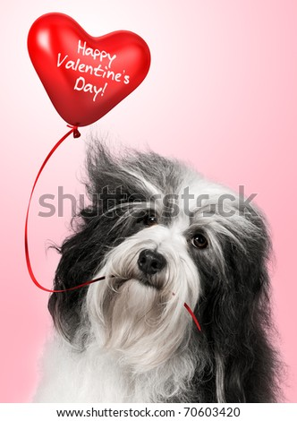 A lover valentine havanese dog holding a red heart balloon before pink background
