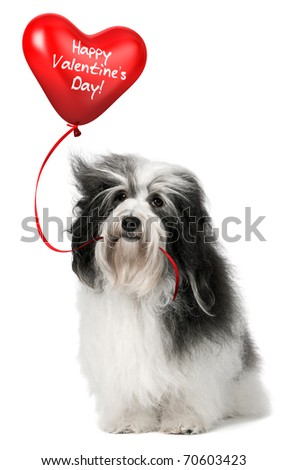 A lover valentine havanese dog holding a red heart balloon isolated on white background