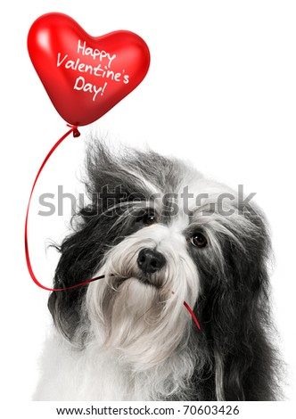 A lover valentine havanese dog holding a red heart balloon isolated on white background - stock photo