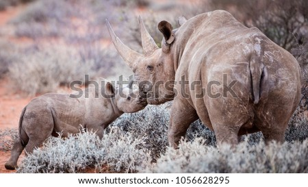 A loving moment between a black rhino and her baby
