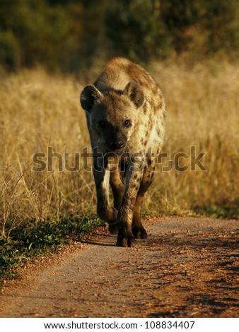 A low angle profile photo of a spotted Hyena walking straight down the road towards the camera during a safari in Addo Elephant national park,eastern cape,south africa