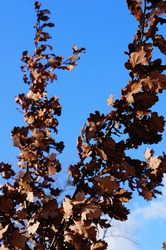 A low angle shot of a tree branch with dried brown leaves against a blue sky