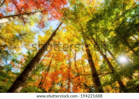 A low angle view of the bright sun shining through colorful autumn leaves on trees in a forest.