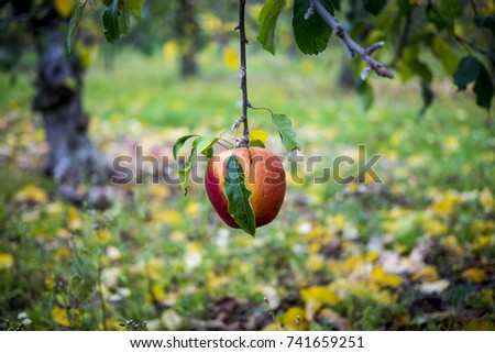 A low hanging apple