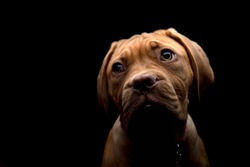 A low key photography portrait shot of Mabel, a 15 week old Dogue de Bordeaux (French Mastiff) puppy, her features defined in stark contrast to the dark background.