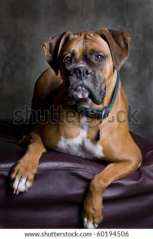 A low-key portrait of a fawn colored Boxer dog.