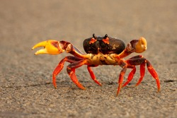 A low perspective of a brave crab running across a road