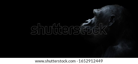 A lowland gorilla against a black background. Stock photo ©