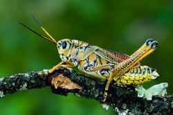 A lubber grasshopper holding onto a scrub oak branch