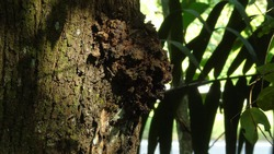 A lump in a tree trunk because of disease