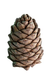 A lump of cedar, covered with nuts. Siberian pine cone. Brown big pine cone on the table