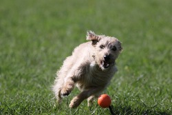 A Lurcher chases a ball in a park