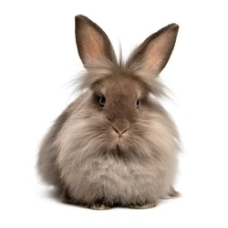A lying chocolate colored lionhead bunny rabbit, isolated on white background