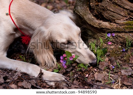 A lying young white saluki smell flowers in a spring forest