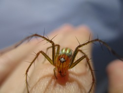 A lynx spider walking on the finger of an asian man