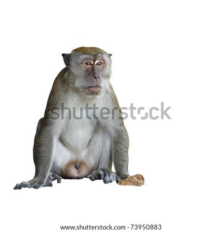 A Macaque monkey also known as Rhesus Monkey isolated against a white background.