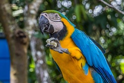 A macaw parrot holds a piece of bread in its clawed paw and eats it. The Ara ararauna (blue-and-yellow or blue-and-gold macaw) lives in the forest, woodland and savannah of tropical South America.