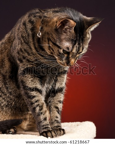 A mackerel tabby cat looking down from post with a red background.