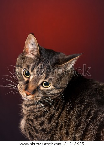 A mackerel tabby cat with a red background.