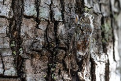 A macro and detailed view of a flying Cicada insect. At rest and camouflaged on a mature tree trunk. Arthropod body with copy space.