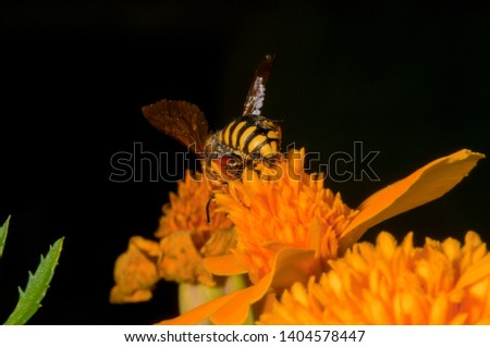 A macro bee pic from the back on a yellow flower working on to have pollin to make honey