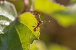 a macro capture of an ant, sitting on a grean leaf of a plant