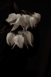 A macro close up black and white photography of a Bleeding heart vine petals blooming planting flowers in the garden.