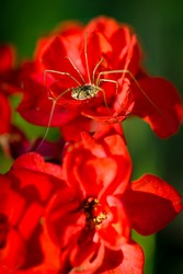 A macro, close-up image of a Daddy Longlegs Harvestman spider( Phalangium opilio ) sitting on a grouping of red flowers.