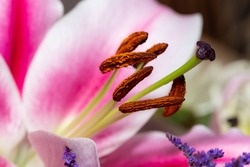A macro close up of pollen on the stamen of a lilly flower