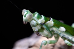 A macro close up photograph of  a praying mantis, an Indian Banded Flower Mantis upper region close up.