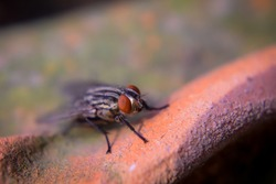 A macro,close up photography selective focus of the front body of a flesh fly with red eyes.