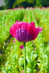 a macro closeup of a beautiful pink purple red white poppy Papaver somniferum opium poppy bread seed poppy flower with leaves against bright green garden field meadow background