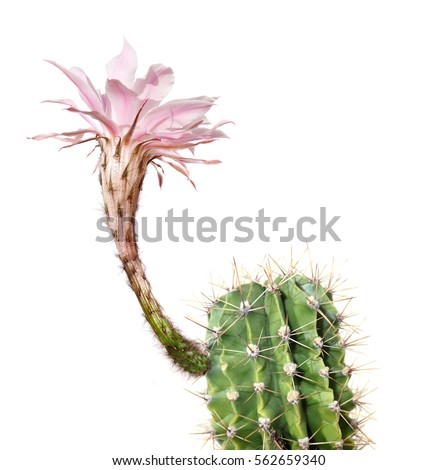 a macro closeup of a beautiful silky pink tender Echinopsis Lobivia cactus flower and green thorny spiky plant isolated on white.