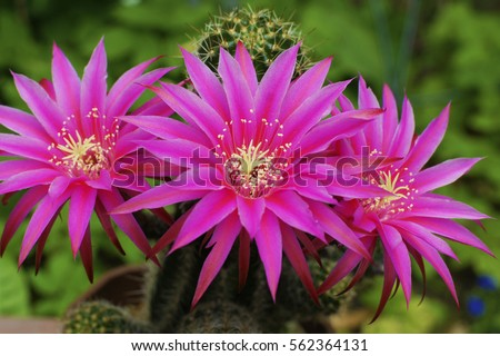 a macro closeup of a striking colored bright pink purple echinopsis lobivia hybrid cactus plant against green background