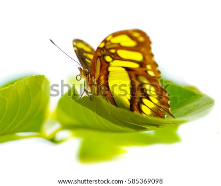 a macro closeup of a tropical yellow and brown Monarch butterfly on a leaf isolated on white with space for text #585369098