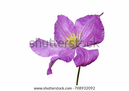 a macro closeup of beautiful light pink purple wild flower Clematis flower common plant grown in gardens