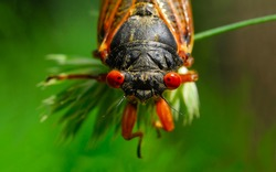 A macro head shot of a17-year cicada. They live underground in a nymph stage and emerge only after 17 years. This image highlights the cicada's very large, orange, compound eyes.