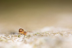A macro image of a Globular Springtail, Collembola. Their Class is  Entognatha (retracted mouthparts} but are considered not to be insects and are wingless.