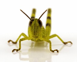 A macro image of a grasshopper isolated on a white background with a reflection