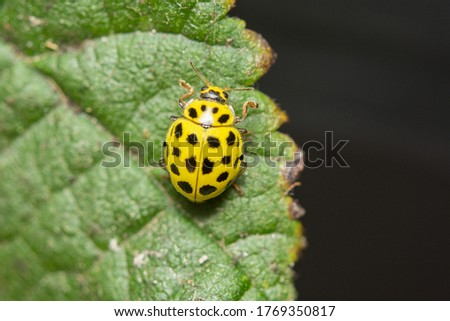 A macro image of a 22 spot yellow Lady Beetle on a leaf in Kent, UK in July. The Latin name is  Psyllobora vigintiduopunctata. This is a gardener's friend as the larvae are avid aphid consumers. Сток-фото ©