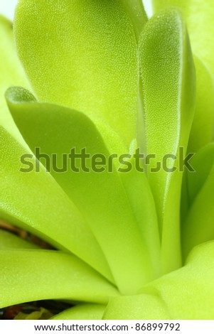 A macro image of the leaves of a carnivorous plant of the genus Pinguicula showing the sticky dropletts used to trap insects