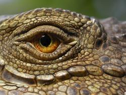 A macro of a green iguana eye