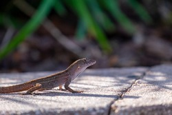 A macro of a small brown amphibian lizard or gecko standing on all four legs among colourful green grass and orange autumn leaves. The soft yellow sun is shining on the small tropical reptile.