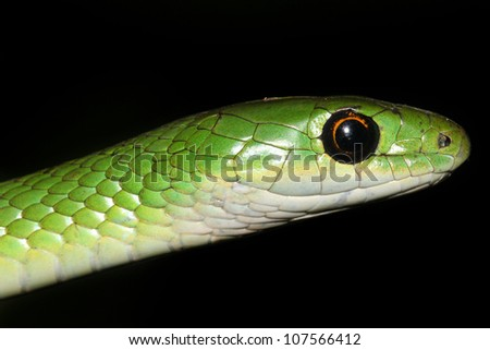 A Macro of a WILD Natal or Eastern Green Snake (Philothamnus Natalensis) in Eldoret, Kenya, Africa. Isolated on black with plenty of space for text. - stock photo