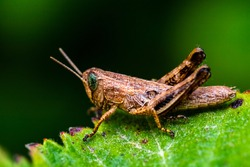 a macro-photo of a beautiful grasshopper (photo wast taken in a nature reserve in northern Israel)