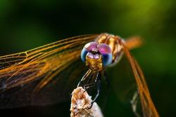 a macro-photo of a golden dragonfly's face