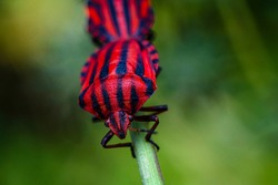 a macro-photo of a red true bug on a twig