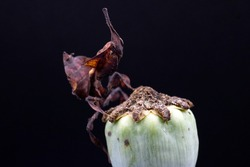 A macro photograph of a Ghost Mantis climbing on top of a seeding poppy head, against a black background.